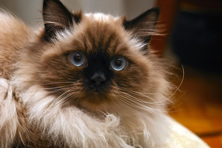 long haired, blue eyed, Seal point himalayan cat