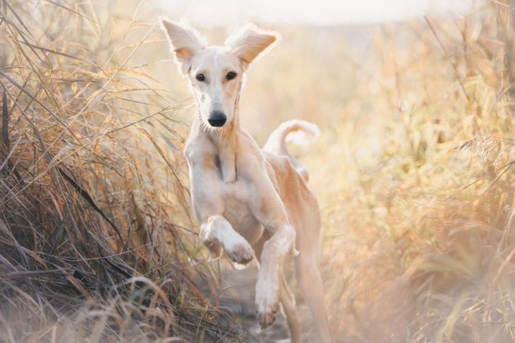 saluki runs through the grass at dawn