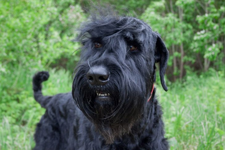 Black russian terrier iclose up