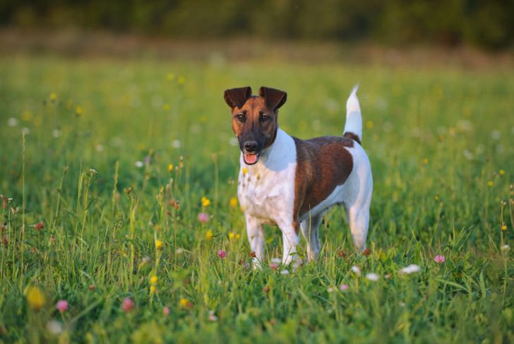 young Fox Terrier in the meadow