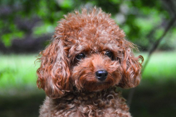 Teacup Poodle with a green background