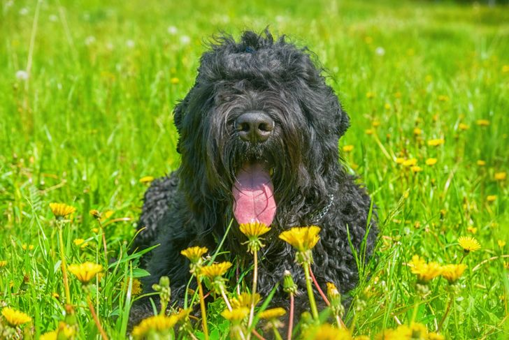 Black russian terrier dog sitting in a grassy meadow