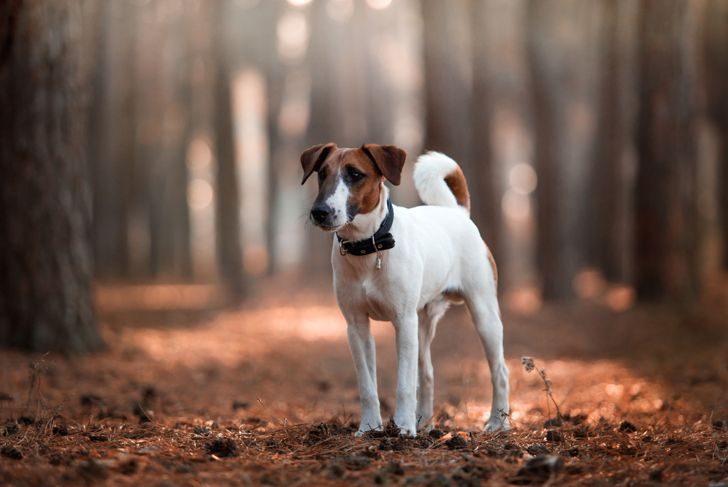 fox terrier breed in the autumn forest