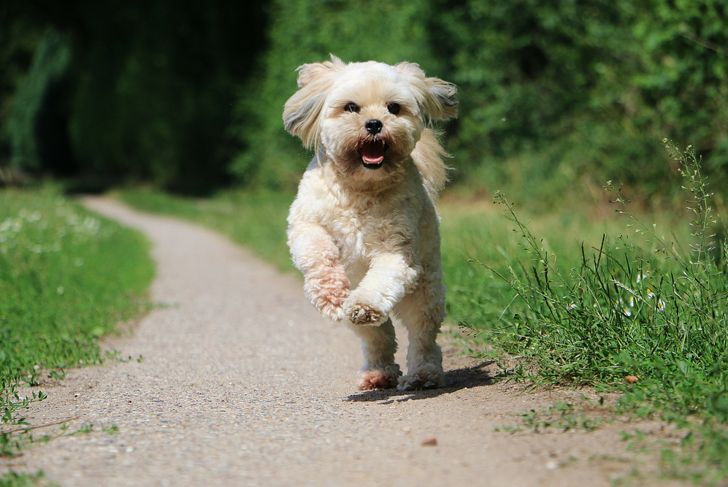 lhasa apso running on a small way in the garden
