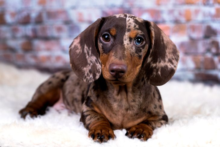 Portrait of a dapple dachshun dog sitting on a fluffy white bed