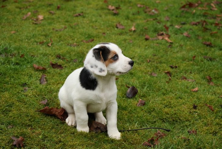 Young puppy sitting on the lawn. Jack-a-bee (beagle / Jack Russell cross)