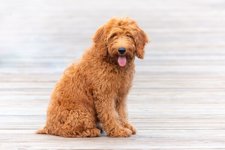 Goldendoodle puppy on pier in Florida