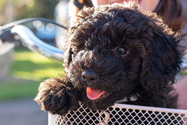 schnoodle puppy dog sitting in a bike basket