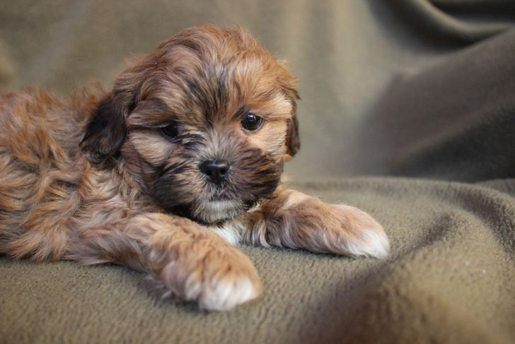 Adorable Rusty Red Shih-poo Puppy