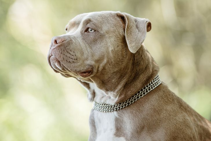 grey and white american bully