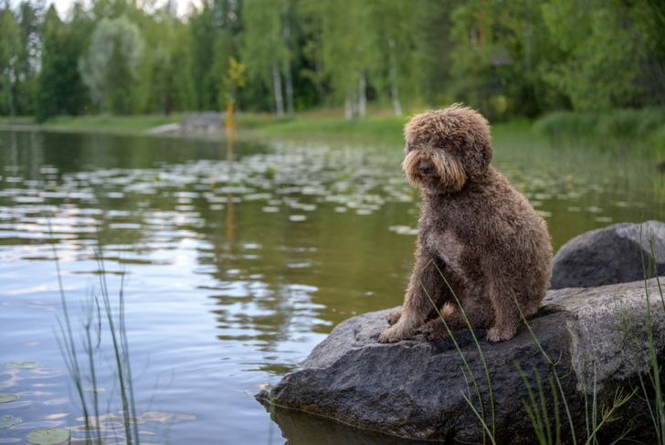 Lagotto Romagnolo. Sitting on a rock.