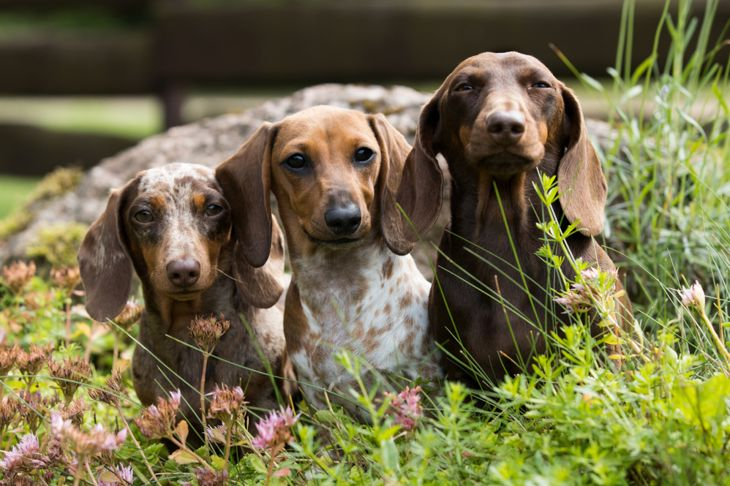 Three dachshund dogs lying on the grass together