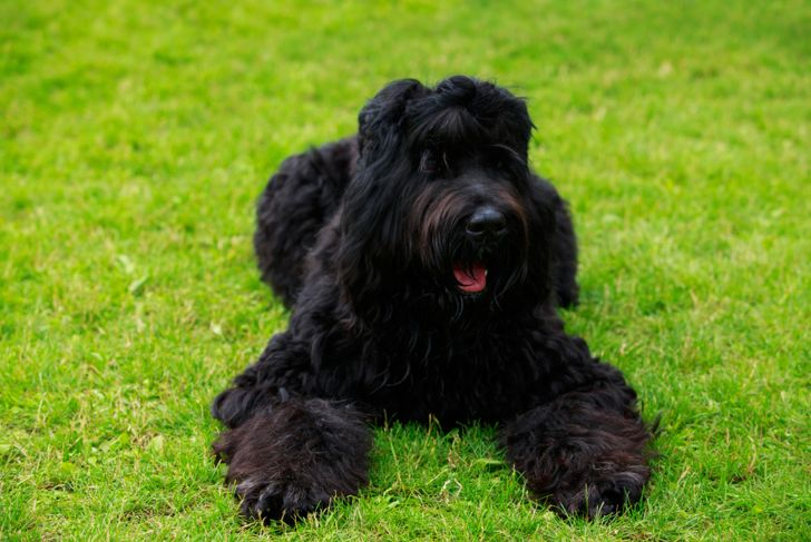 Dog breed Russian Black Terrier lying on green grass