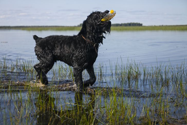 Black russian terrier dog playing in a lake