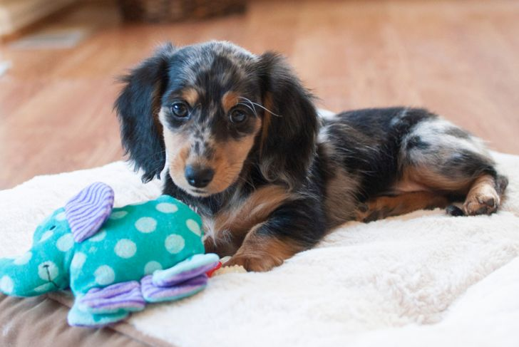 Longhaired Dapple Miniature Dachshund Puppy Laying On Dog Bed With Toy