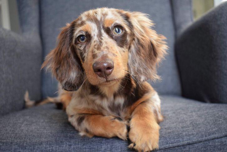 Dapple dachshund puppy sitting on a grey chair