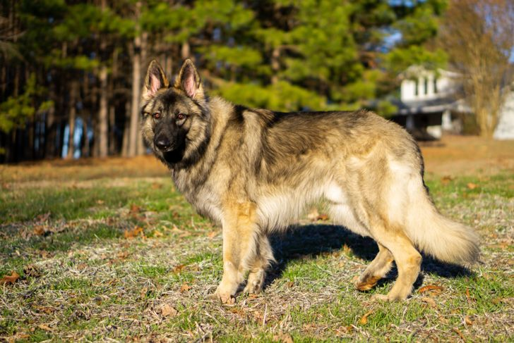 shiloh shepherd standing outside
