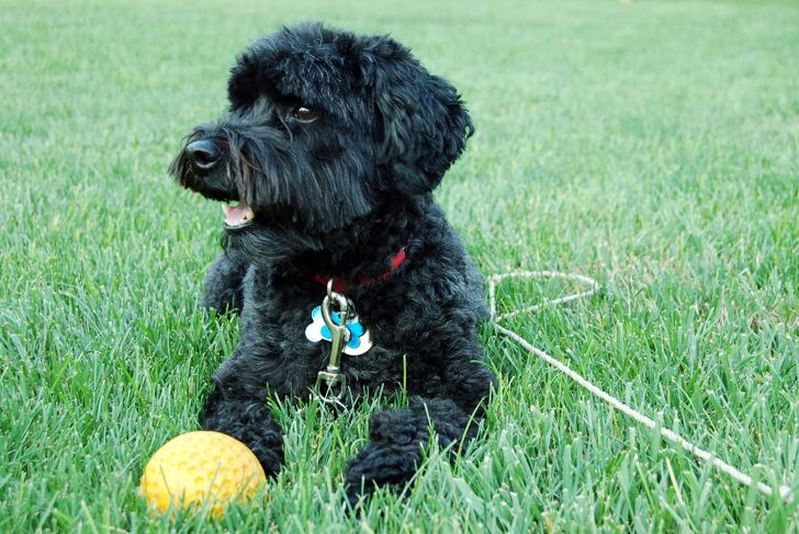 Black schnoodle dog lying on the grass next to a yellow ball