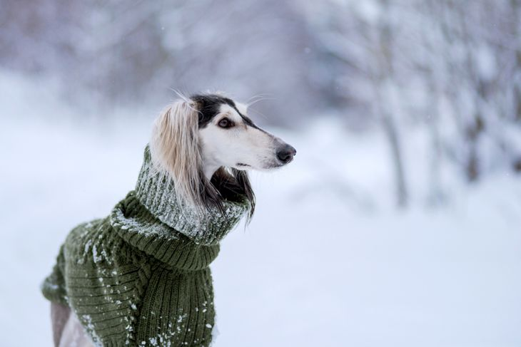 saluki breed in a sweater, Persian greyhound, closeup portrait, in a snowy winter, in the background a forest strewn with snow
