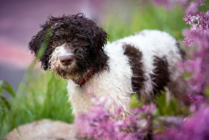 Wet puppy of lagotto romagnolo