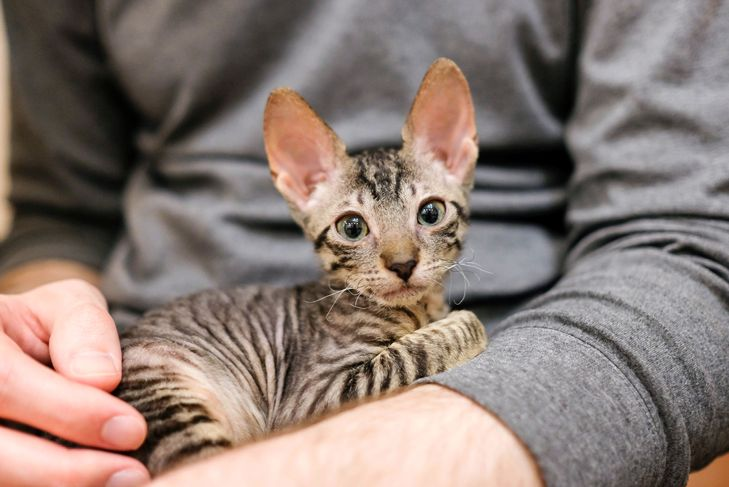 Cornish Rex kitten in the arms of a man.