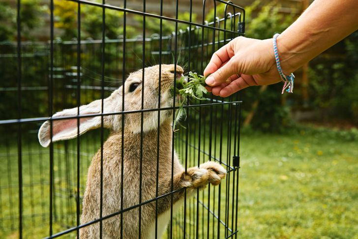 flemish giant rabbit in the enclosure of a private garden with lawn