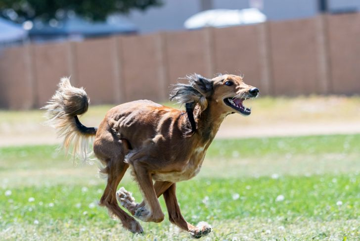 Saluki dog chasing a lure in the grass at a lure coursing trial