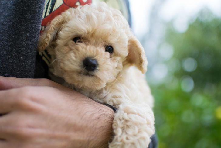 A person holding a cute beige Shih-poo Maltipoo dog