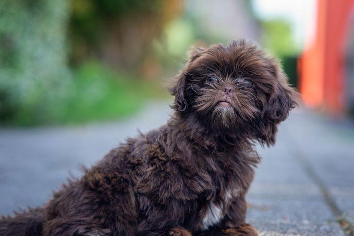 A closeup of a cute Shih-Poo dog