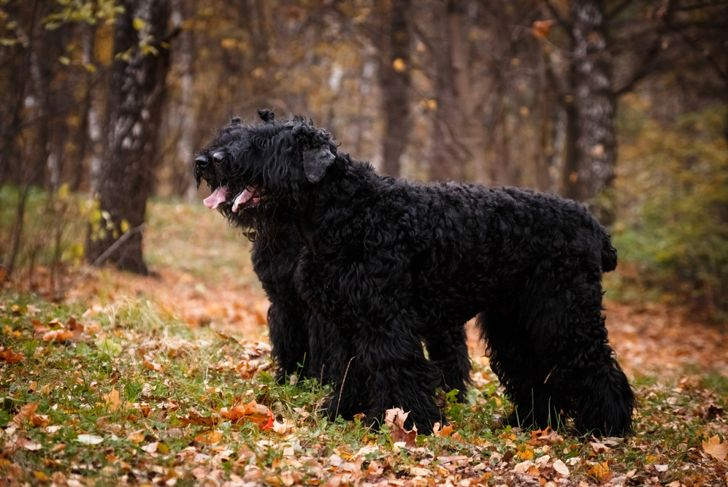 Two large black dogs of the Russian Black Terrier breed, a large and formidable dog