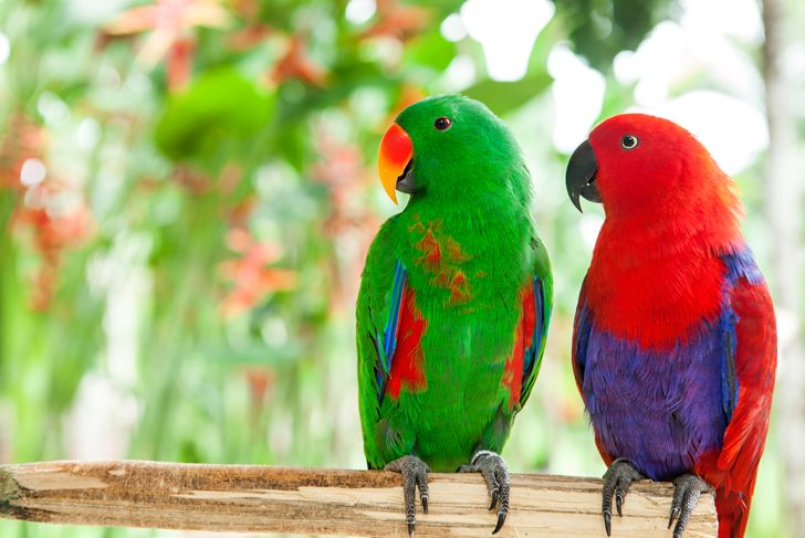 a pair green and red of Solomon Island Eclectus Parrots
