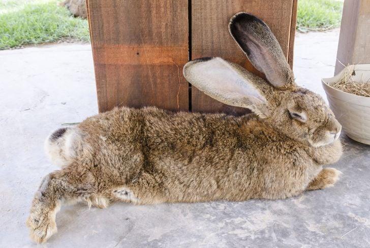 Flemish giant rabbit relaxing outside