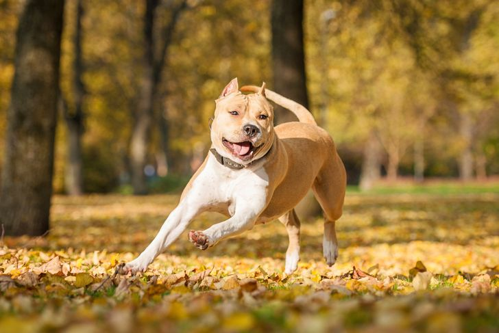 American staffordshire terrier playing in the park in autumn