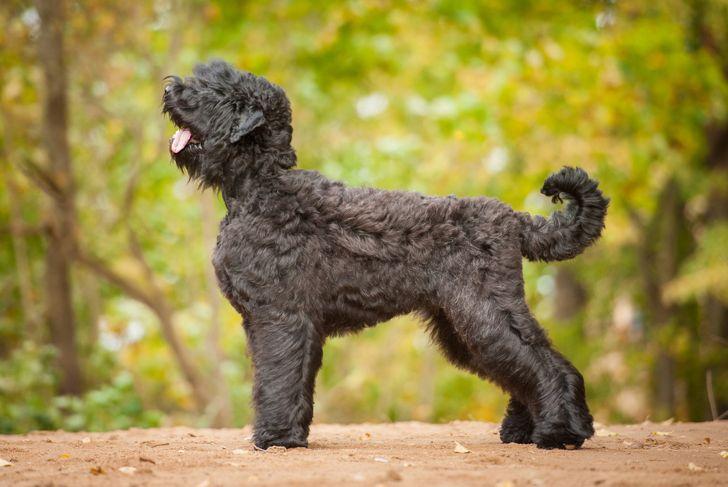 Black russian terrier in autumn