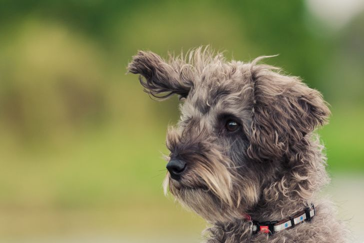 Schnoodle dog with ear blowing in the wind
