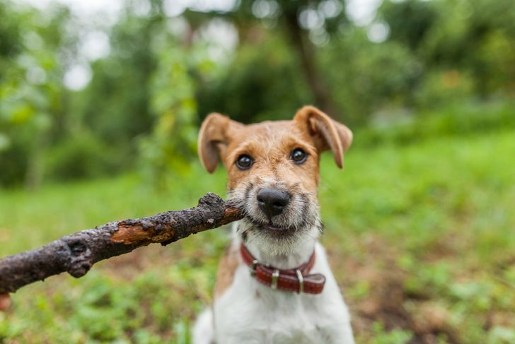 fox terrier playing with a stick