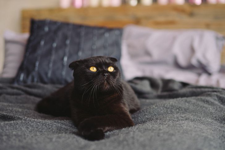 Cute black yellow-eyed scottish fold cat on the bed