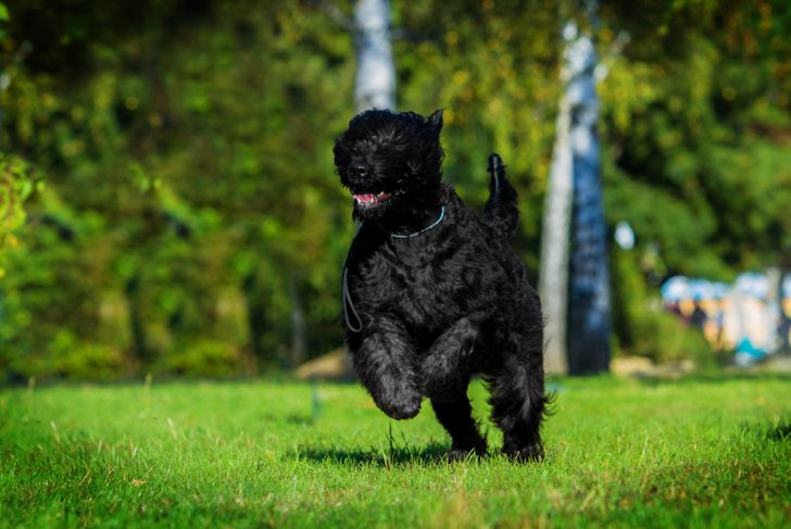 Black Russian terrier running