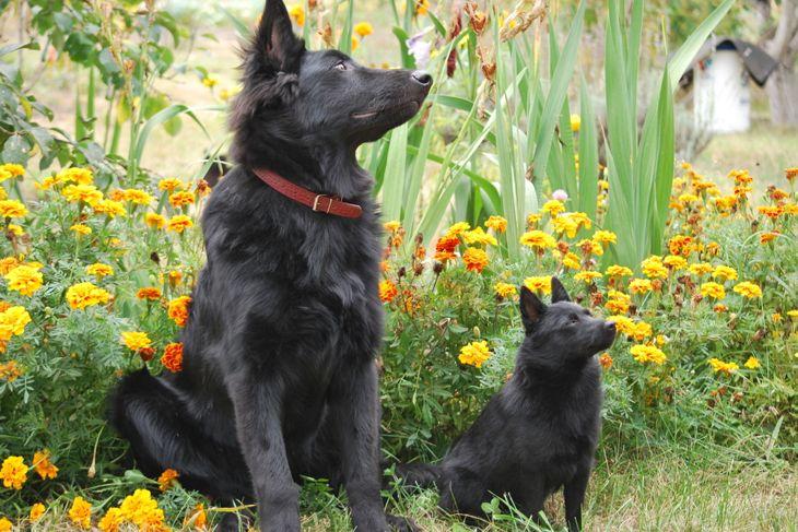 Dog Schipperke and shepherd