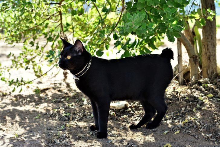 bobtail black cat in the shadow of the myrrh tree