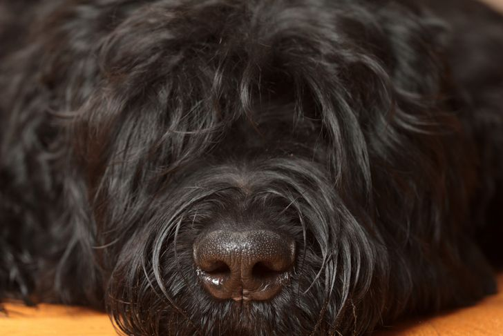 Close up of Black Russian terrier's face