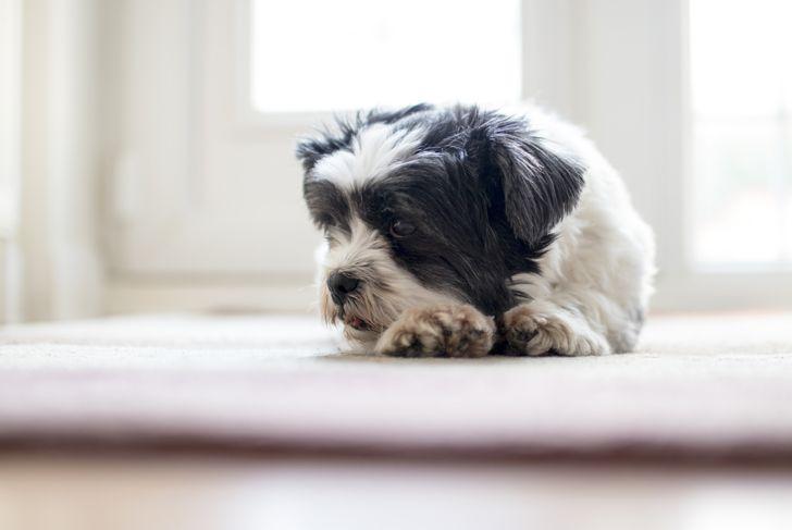 lhasa apso dog lying down inside
