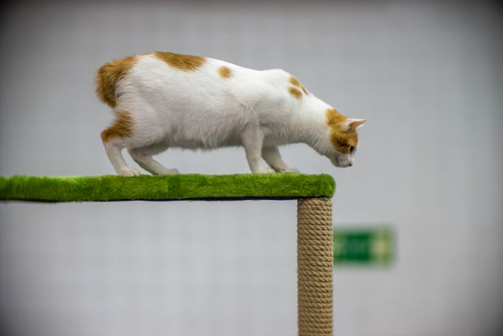 orange and white japanese bobtail cat playing on a cat tree