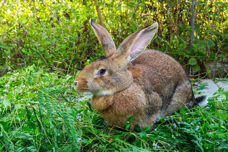 Flemish Giant Rabbit In Garden