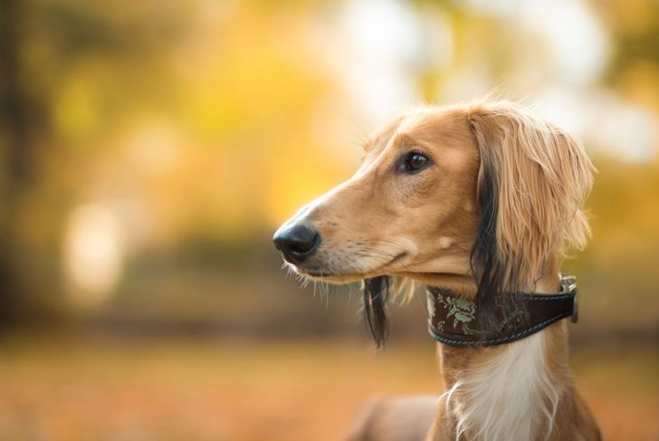 autumn portrait of adorable saluki persian hound
