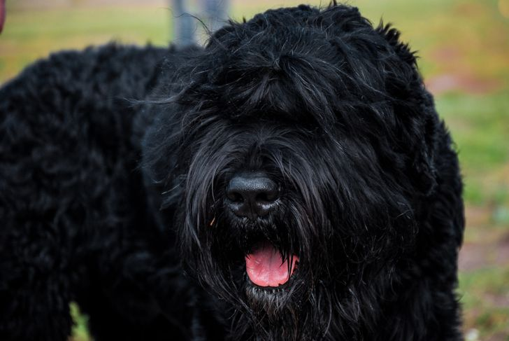 Black russian terrier dog