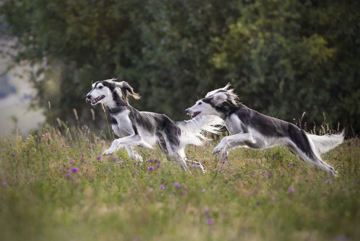Two saluki dogs running together in a field