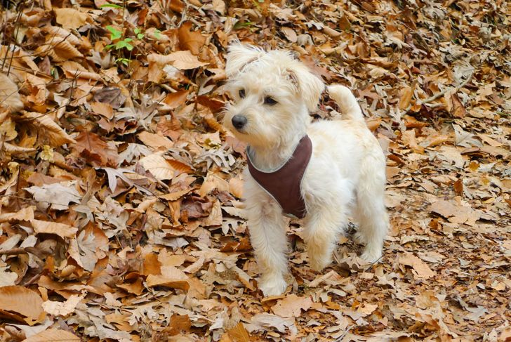 White schnoodle puppy outside