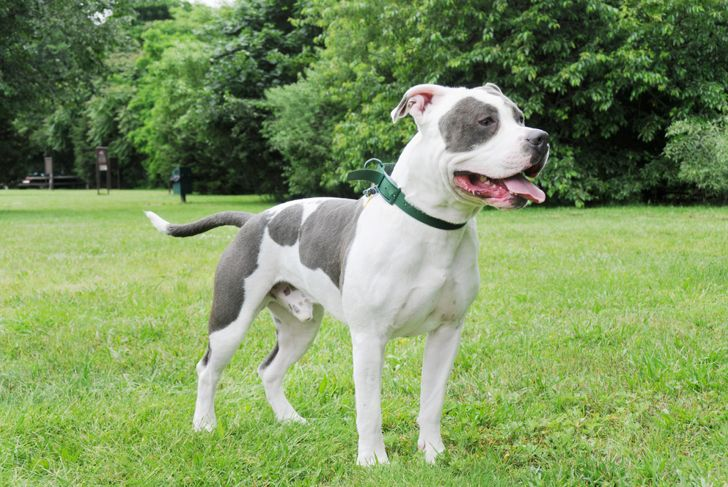 Purebred Canine Cow Patch Blue Nose American Bully Dog standing in green grass lawn yard