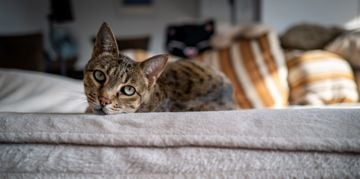 Bring Home a Beautiful, Playful Savannah Cat